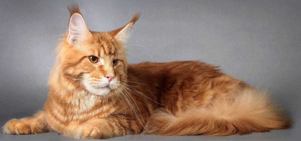 Как выбрать корм для кошки породы мейн-кун
