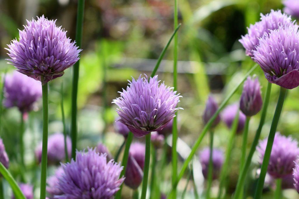 Лекарственные травы-антисептики