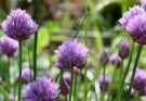 Травы с мощным антивирусным эффектом