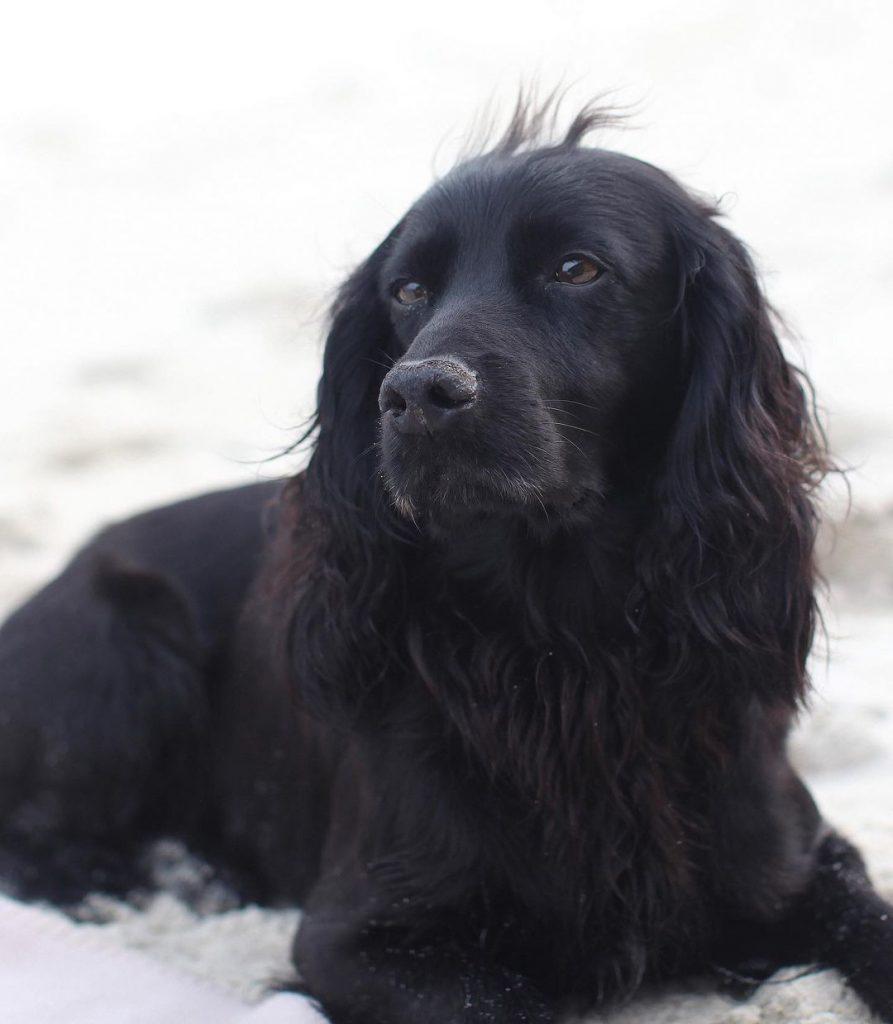 У герцогов Кембриджских умер любимый пес