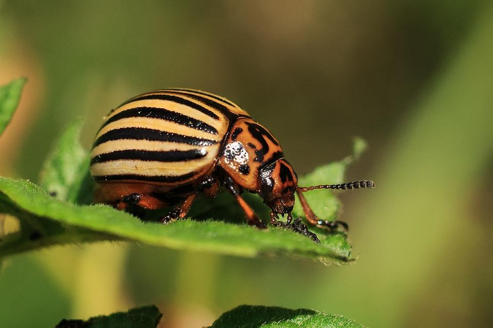 как сделать так, чтобы на листьях растений не появлялись колорадские жуки