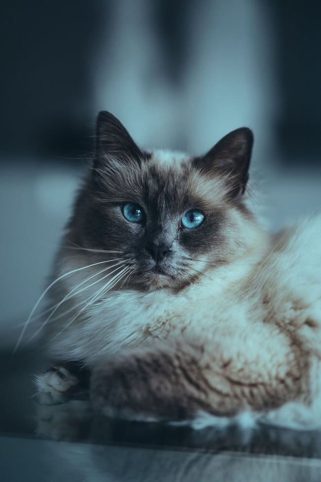 пять пород кошек с самым ласковым характером